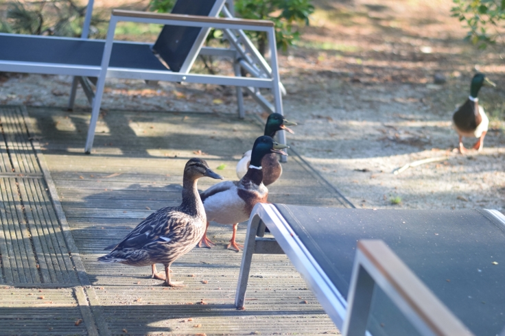 Cottage Center Parcs Hauts de Bruyeres canards sur la terrasse